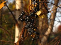 Raisins sauvages Image stock