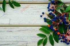 Raisins sauvages en bois de fond, feuilles de sorbe Image libre de droits
