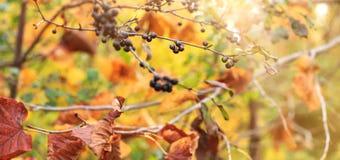 Raisins sauvages et feuilles rouges et jaunes colorées l'automne pour photo libre de droits