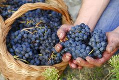 Raisins sauvages frais. photographie stock