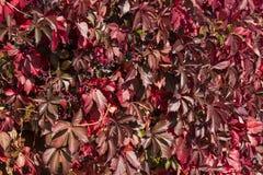 Raisins sauvages rouges d'automne Baies bleues, automne, raisins sauvages, feuilles rouges des raisins sauvages Photos stock