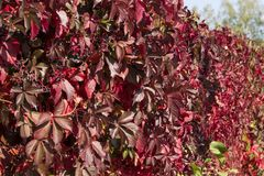 Raisins sauvages rouges d'automne Baies bleues, automne, raisins sauvages, feuilles rouges des raisins sauvages Images libres de droits