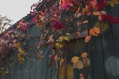 Raisins sauvages sur la vieille barrière en bois image libre de droits
