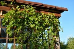 Raisins sauvages sur le porche de soleil photo stock