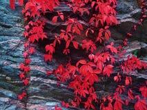 Raisins sauvages sur les feuilles colorées d'une roche Photo stock