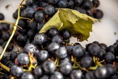 Raisins sauvages sur un fond blanc, R-U image stock