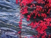 Raisins sauvages sur une roche Photos libres de droits
