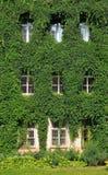 Raisins sauvages tortillés par mur de Chambre Photographie stock