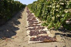 Raisins secs secs sur le soleil photographie stock