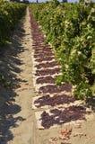 Raisins secs secs sur le soleil images libres de droits