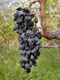 Raisins secs sur la tige Image stock