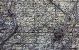 Raisins secs sur le mur Images libres de droits