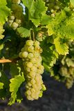 Raisins sur la branche dans la région de vin de Balaton, Hongrie Image libre de droits