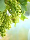 Raisins sur la verticale de vigne Image libre de droits