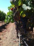Raisins sur la vigne Photographie stock