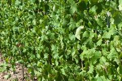 Raisins sur la vigne Photos libres de droits
