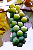Raisins sur la vigne Photographie stock libre de droits