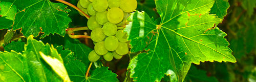 Raisins sur la vigne Image libre de droits