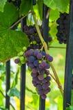 Raisins sur la vigne Photos stock