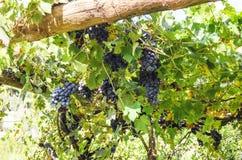 Raisins sur la vigne Photo stock