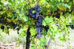 Raisins sur la vigne Images stock