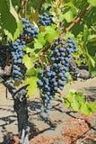 Raisins sur la vigne dans le Napa Valley de la verticale de la Californie Images libres de droits