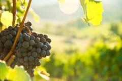 Raisins sur la vigne en Toscane, Italie Photos stock