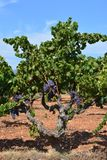 Raisins sur la vigne mûrissant dans le soleil d'été image libre de droits