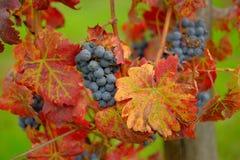 Raisins sur la vigne, Toscane, Italie Photos stock