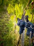 Raisins sur la vignette de vigne Photographie stock libre de droits