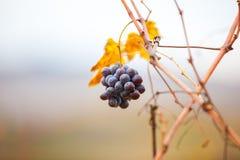 Raisins sur le groupe Photo stock