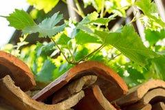 Raisins sur le toit Photographie stock