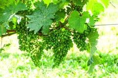 Raisins sur un arbre Photographie stock