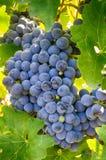 Raisins sur une branche, variété de gala Fruit mûr pour faire le vin Ha photos libres de droits