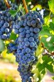 Raisins sur une branche, variété de gala Fruit mûr pour faire le vin Ha images libres de droits