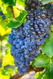 Raisins sur une branche, variété de gala Fruit mûr pour faire le vin Ha photos stock