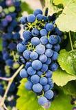 Raisins sur une branche, variété de gala Fruit mûr pour faire le vin moisson photos libres de droits