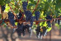 Raisins sur une vigne Photographie stock libre de droits