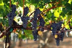 Raisins sur une vigne Photo libre de droits