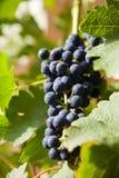 Raisins sur une vigne 3 Photo libre de droits