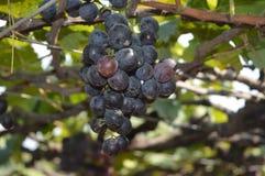 Raisins sur une vigne Photos stock