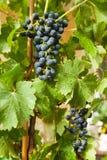 Raisins sur une vigne 6 Image libre de droits