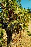 Raisins sur une vigne photographie stock