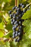 Raisins sur une vigne 8 Image libre de droits