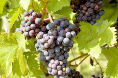 Raisins sur une vigne avec le fond en bois image stock