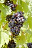Raisins sur une vigne avec le fond en bois photographie stock
