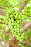 Raisins verts Photo libre de droits