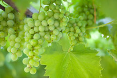 Raisins verts Photos stock