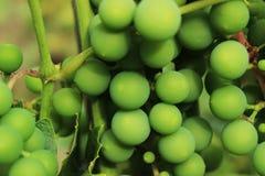 Raisins verts photo stock