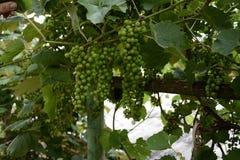 Raisins verts accrochant sur les branches et les raisins verts non mûrs images stock